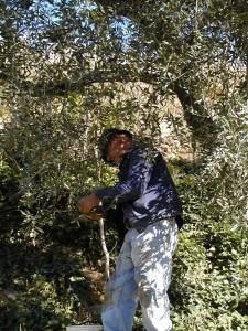 Raccolta delle olive al Santuario di Savona